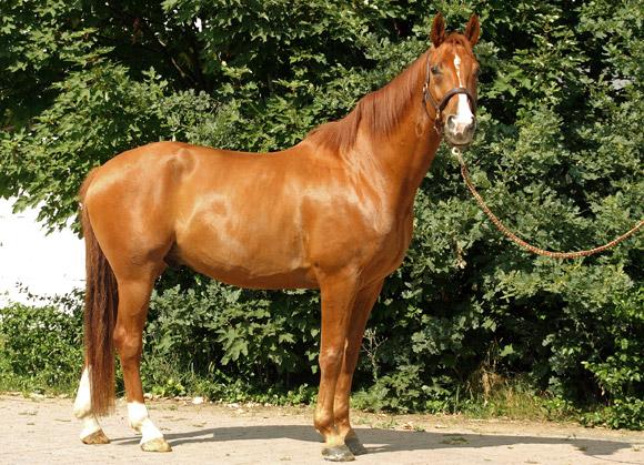 Beurteilung von exterieur und potential des reitpferdes for Exterieur beurteilung pferd
